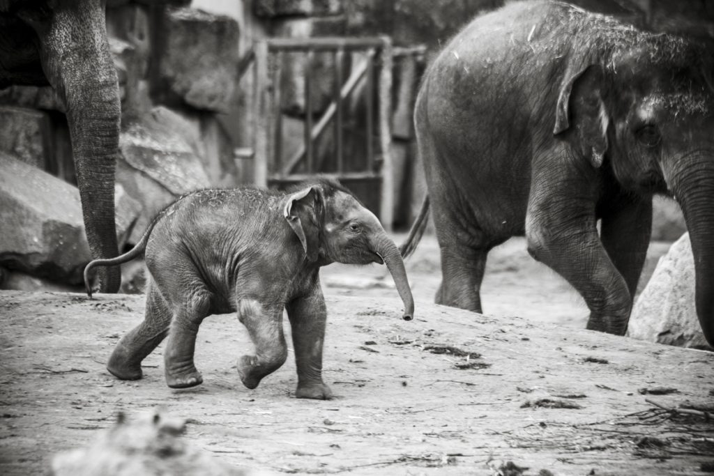 Imagefilm mit den Elefanten vom Zoo Berlin